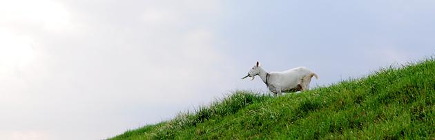 お便りを待つヤギ