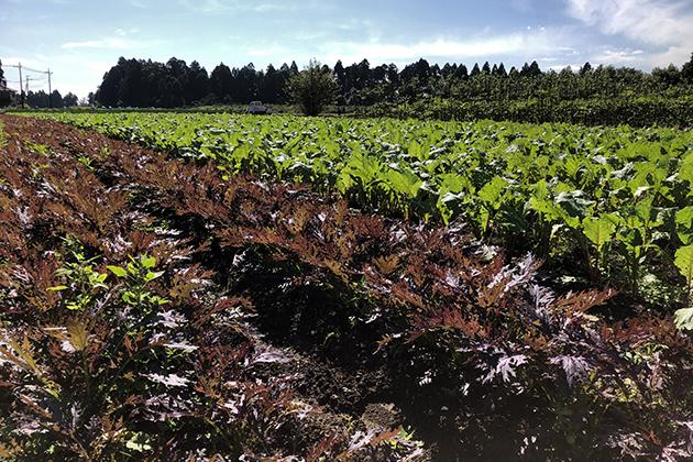 赤からし菜の畑